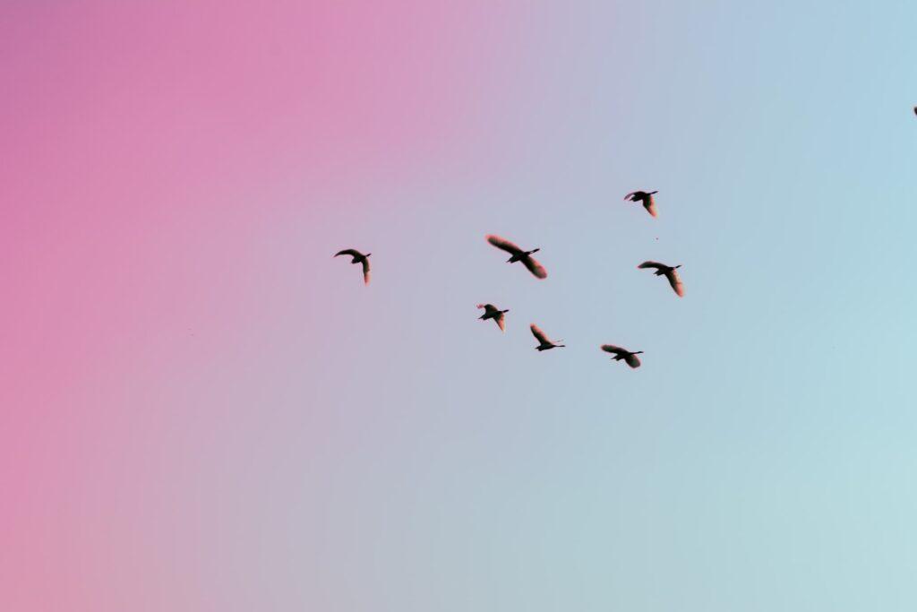 Birds in flight with sorbet sunset.