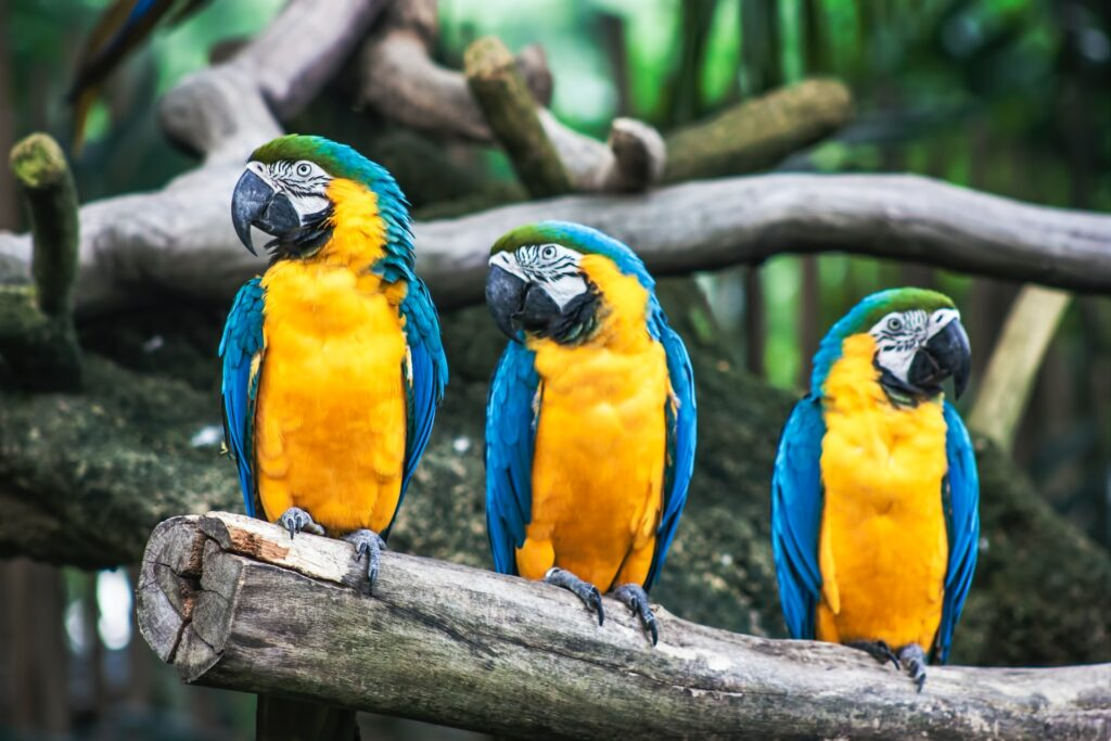 Three parrots on branch in forest.