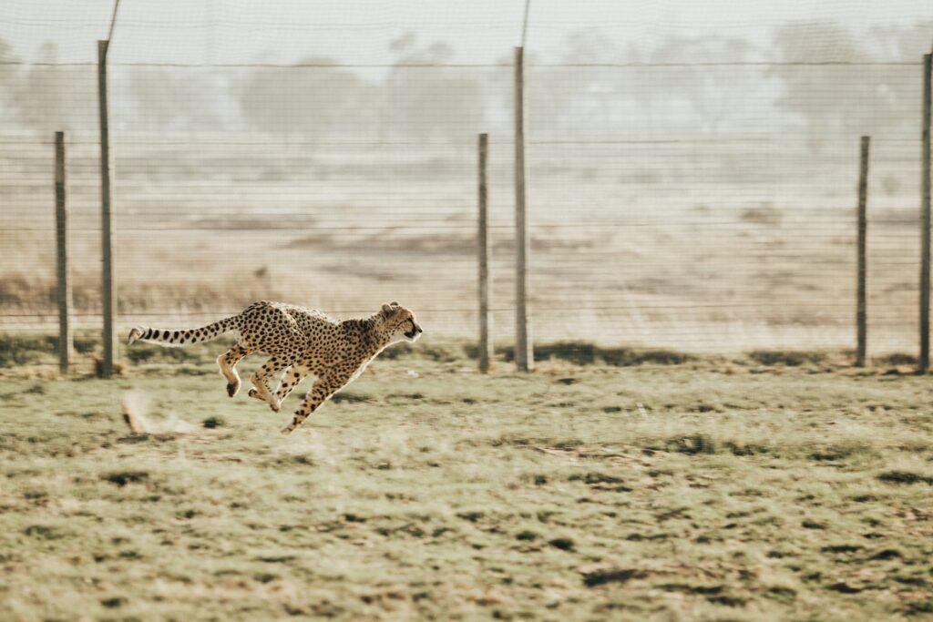 Running cheetah.