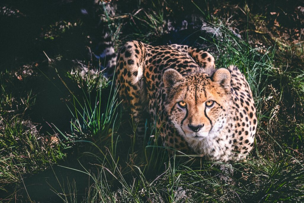 Sitting cheetah.