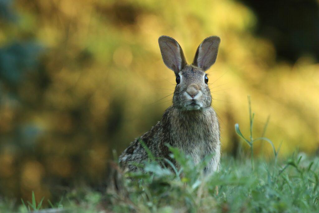 Rabbit in field.