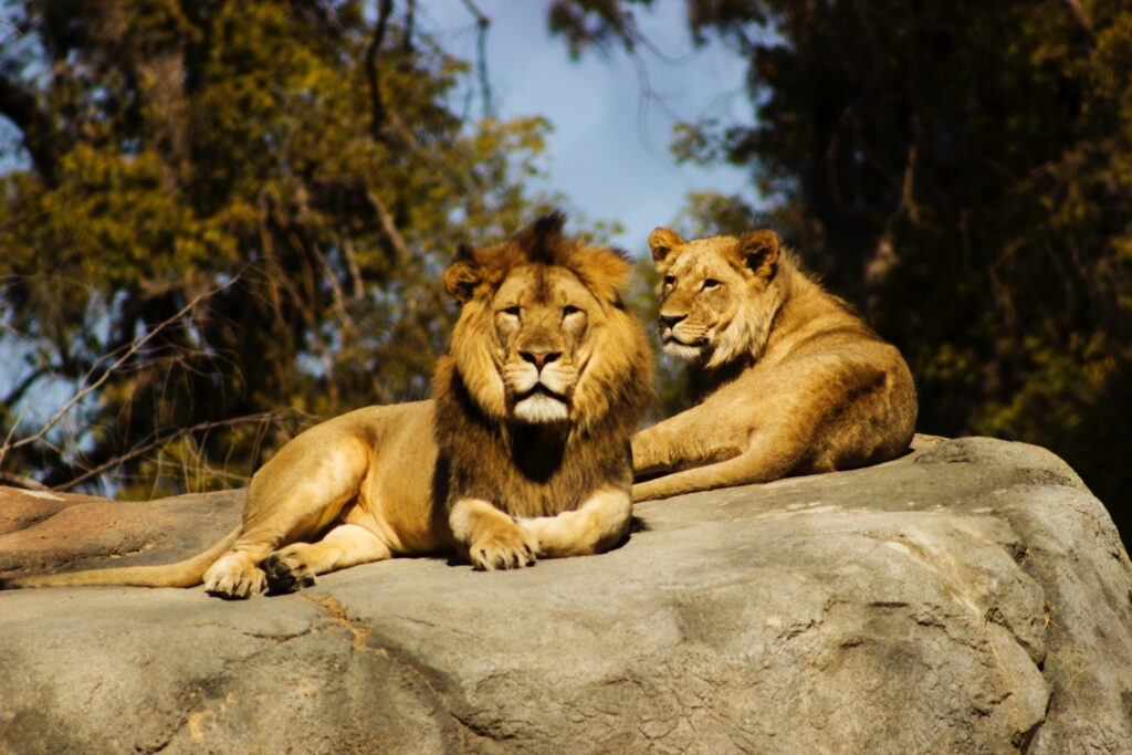 Lions on Rock.